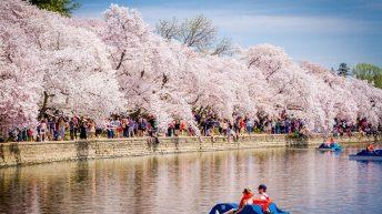 Những sự thật thú vị về lễ hội hoa anh đào ở Washington